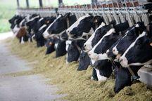 مجتمع گاوداری ۱۰ هزار راسی در شیروان ساخته میشود