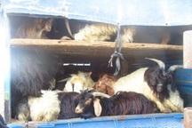 102 راس گوسفند قاچاق در نیر کشف شد