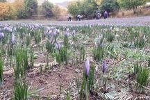 تولید زعفران در خلخال افزایش یافت
