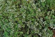 ۵۰۶ هکتار به سطح زیرکشت گیاهان دارویی یزد افزوده شد