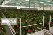 ۲۳ میلیون گل شاخه بریده در خمین تولید شد