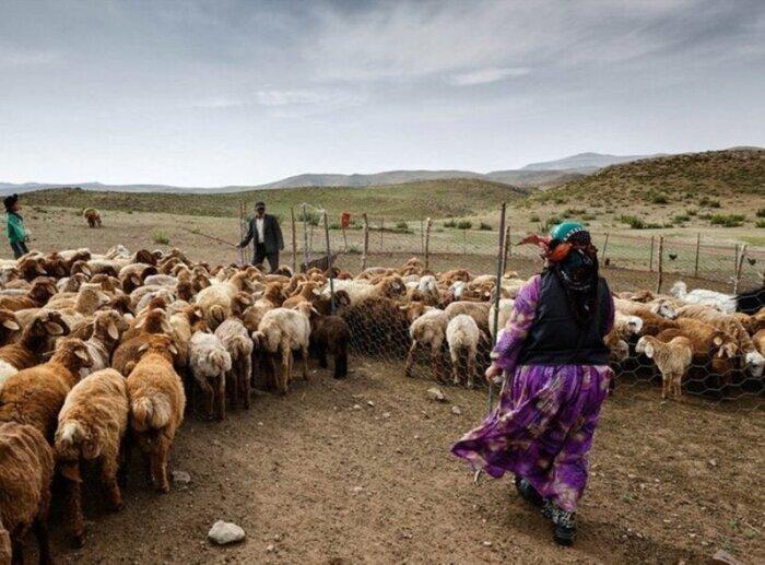 راهکار عشایر برای تنظیم قیمت گوشت