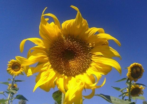ششمین جشنواره ملی برداشت آفتابگردان درخوی برگزار می شود