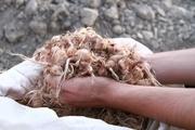 ۳۰ تن پیاز زعفران بین کشاورزان ایذهای توزیع شد