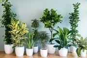 دلایل زرد شدن برگ گیاهان آپارتمانی