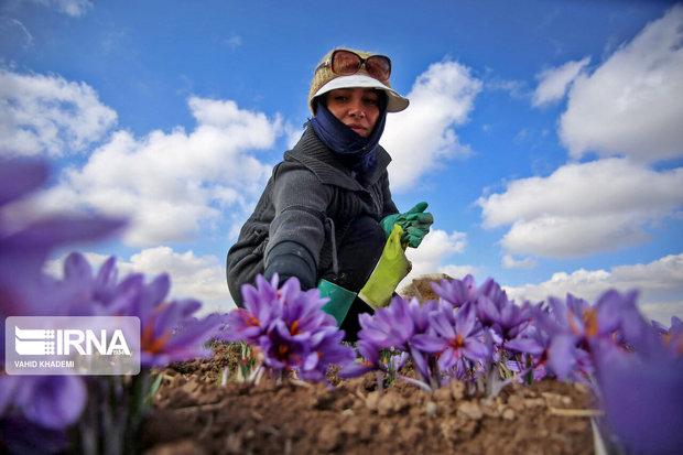 ۳۶ تن زعفران در خراسان رضوی به صورت حمایتی خریداری شد