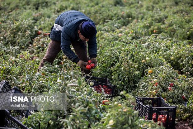 آغاز برداشت 126 هزار تن گوجهفرنگی از مزارع طارم