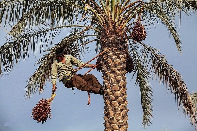 عرضه 25 هزار تن خرمای بوشهر در کشور