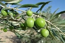 زیتون طارم در صدر تولید کشوری است