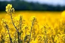 فصل خرید دانه روغنی در مازندران با خرید بیش از 116 تن کلزا آغاز شد