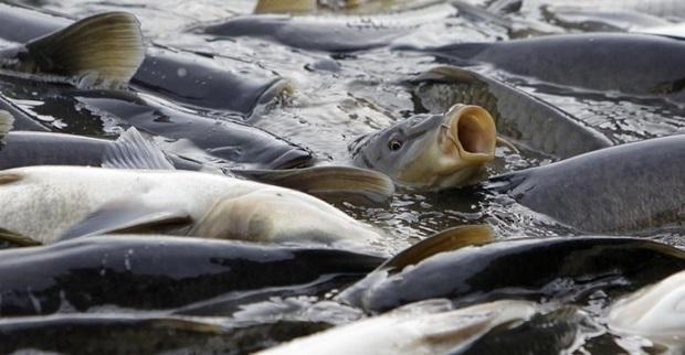 توزیع 22 هزار بچه ماهی کپور در فردوس