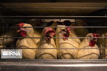 ۲۲۸ واحد پرورش مرغ گوشتی در سیستان و بلوچستان فعال است