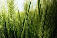 یکپارچهسازی زراعت مهمترین نیاز کشاورزی سمنان است
