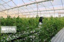 سطح گلخانههای کرمانشاه به ۳۰۰ هکتار میرسد
