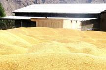 خرید تضمینی گندم و کلزا در حاجی آباد آغاز شد