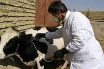 سه هزار راس دام در آبیک واکسینه شدند