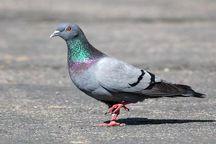 باورهای غلط عامل شکار کبوتر چاهی است