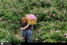 کشت گل محمدی در نیشابور افزایش یافت