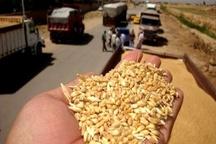 کشف 118 تن گندم و کلزای غیرمجاز در قزوین