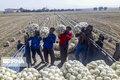 ۲۰ اتحادیه تعاون روستایی برای خرید پیاز وارد جنوب کرمان شدند