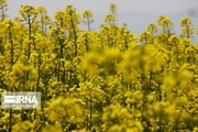 نیمی از کلزای آذربایجانغربی در پلدشت تولید میشود