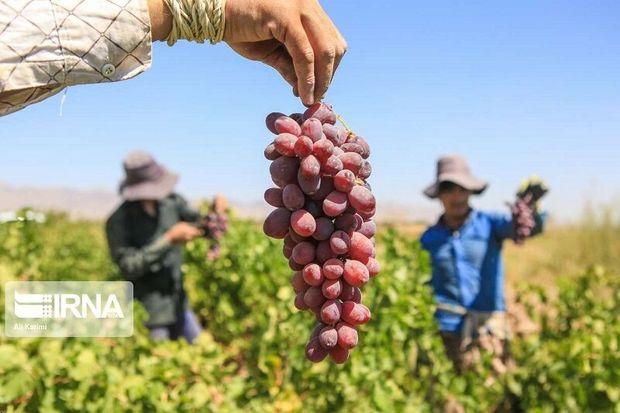 خراسان شمالی بیشترین میزان تولید انگور را در واحد سطح دارد