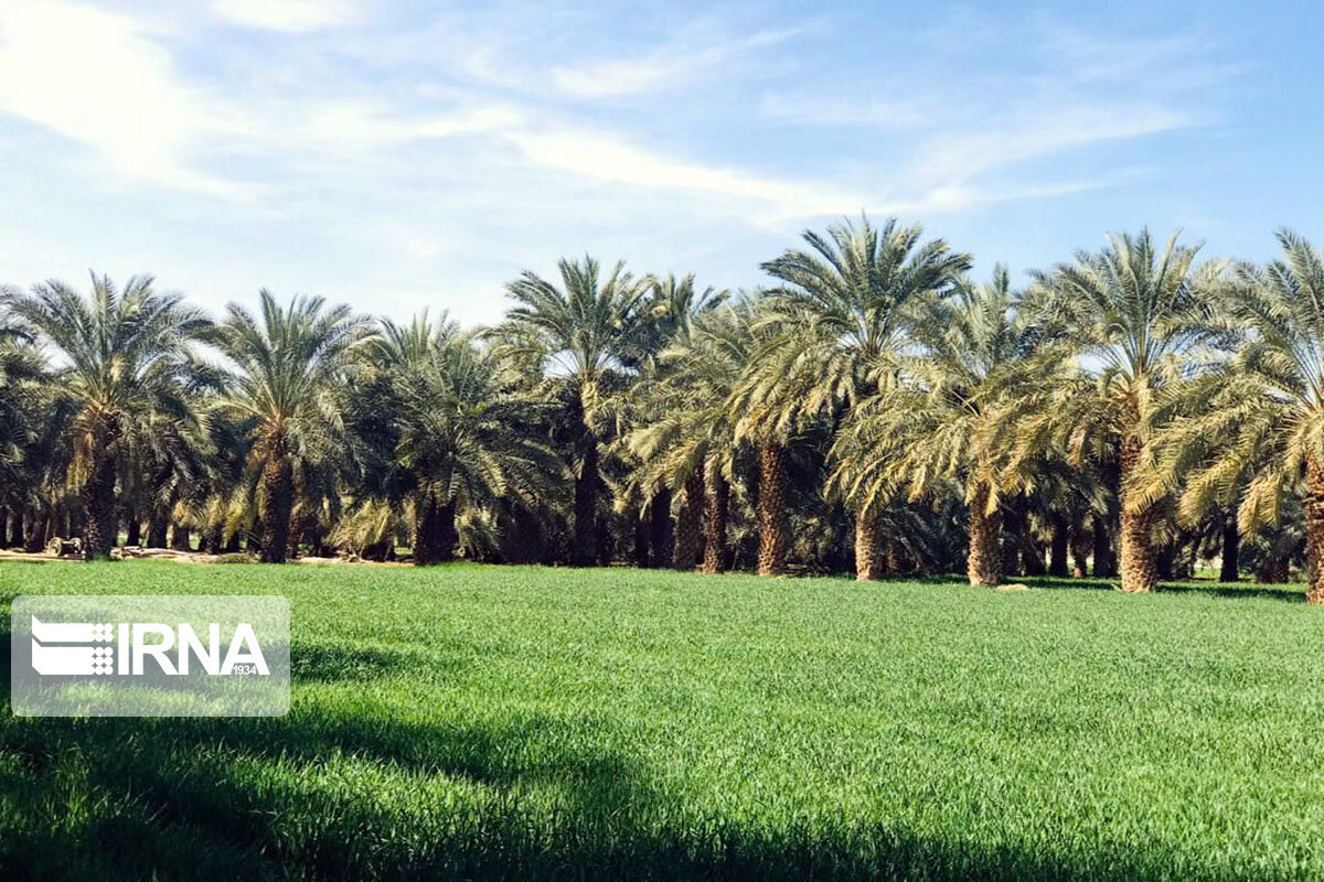 کشت گندم در سیستان و بلوچستان ۲۰۰ درصد افزایش یافته است