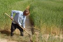 650 هزار تن محصولات بخش کشاورزی در ساوه تولید شد