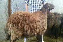 گله های بزرگ پرورش گوسفند افشاری در زنجان توسعه می یابد