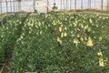 ۱۲۸ واحد گلخانه در استان قزوین فعالیت میکنند