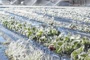 سرما و یخبندان به اراضی کشاورزی ایلام آسیب زد