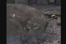 بازی و شادی پلنگ برفی از دیدن برف در باغوحش ملبورن استرالیا