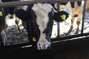 افزایش ۱۵ درصدی تولید شیر در چهارمحال و بختیاری