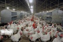 رشد ۱۰ درصدی تولید گوشت مرغ در سیستان و بلوچستان