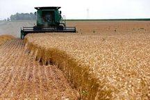برداشت گندم در زاهدان آغاز شد