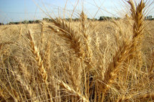 بیش از 90 درصد بیمه گزاران بخش کشاورزی اصفهان خسارت دیدند