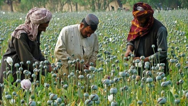 هدف طالبان از ترک تریاک چیست،گران کردن آن یا جلب کمک مالی غرب؟