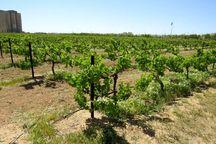خطرپذیری باغهای انگور فاروج در برابر سرما کاهش مییابد