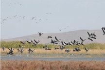 بالغ بر 39 گونه انواع پرنده در تالابهای مهاباد زیست می کنند