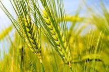کشاورزان ازکشت بی رویه گندم زیر سد درودزن بپرهیزند
