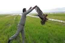 یک بهله عقاب در ایذه رهاسازی شد