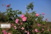 بیش از ۴۰۰ تُن گل محمدی در جنوب کرمان برداشت شد