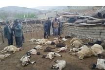 گرگ ها 50 راس گوسفند عشایر خراسان شمالی را دریدند