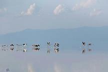 بازگشت فلامینگوها به دریاچه ارومیه عکس