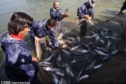 صید ماهی حلواسفید در آبهای خوزستان آزاد شد