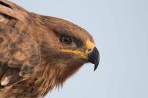 یک عقاب صحرایی در خطر انقراض  در خوزستان رهاسازی شد