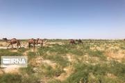 مناطق حاشیه دریاچه ارومیه مستعد پرورش شتر است