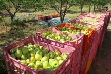 117 هزار تن میوه سیب در کهگیلویه و بویراحمد برداشت شد