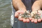انجام عملیات تکثیر طبیعی ماهیان استخوانی در ۴ رودخانه گیلان
