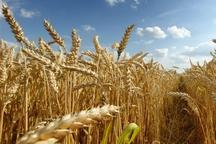 حدود هشت هزار تُن گندم در سمنان خریداری شد